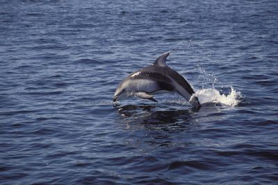 Pacific White Sided Dolphin Johnston Strait Vancouver Island Canada