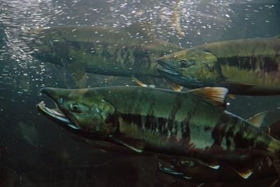 Closeup of Chum Salmon Underwater at Dipac Hatchery , Juneau Alaska