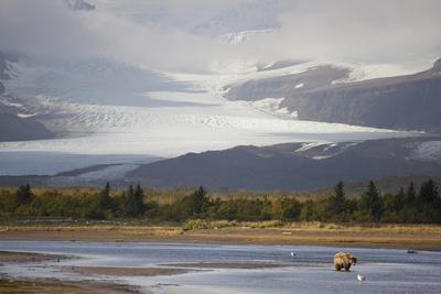 Young Grizzly Fishing at Hallo Bay, Katmai National Park, Alasaka