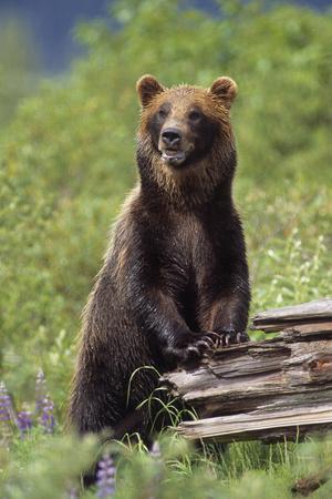 Brown Bear Standing Upright on Log Captive Alaska Wildlife Conservation Center Southcentral Alaska