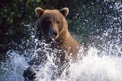 Charging Grizzly Splashing Through Water Shelikof Straight Katmai Nat Park Summer Southwest Alaska