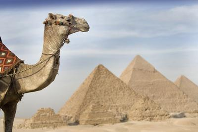 A Camel with the Pyramids in the Background; Cairo,Egypt,Africa