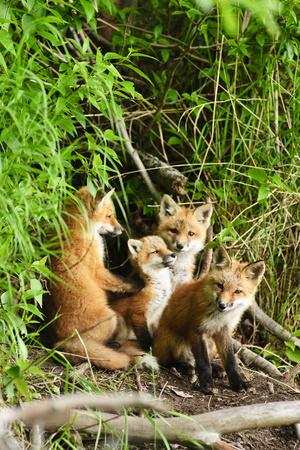 Red Fox Kits Playing Close to their Den During Summer in Alaska