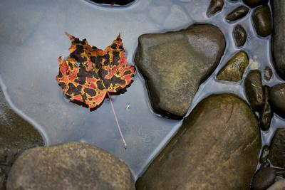 A Pink, Orange and Brown Maple Leaf Lays in a Still Pool of Water, Cheat River, West Virginia