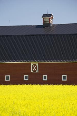Front of a Red Barn in a Flowering Canola Field with Blue Sky South of High River; Alberta Canada