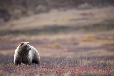 Scenic View of a Grizzly Bear Standing in the Fall Tundra, Denali National Park, Interior Alaska