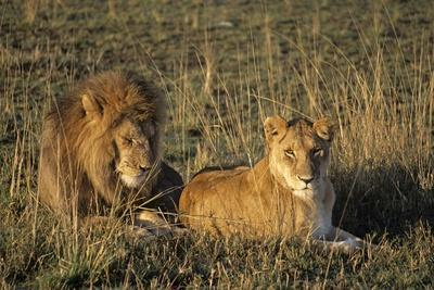Male and Female Lion in Grass; Masai Mara Game Reserve, Kenya