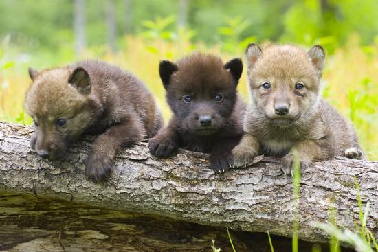 Portrait Of Young Cute Wolf Pups On Log Minnesota Spring Captive Photographic Print Design Pics Inc Allposters Com
