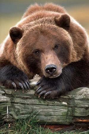 Brown Bear Rests with it Front Legs Outstrenched on a Log, Alaska Wildlife Conservation Center