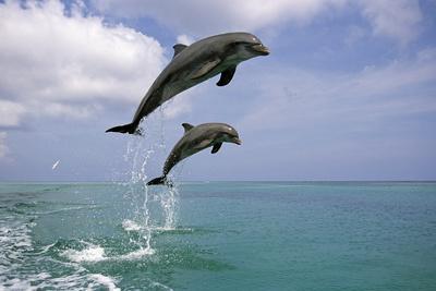 Pair of Bottle Nose Dolphins Jumping Roatan Honduras Summer