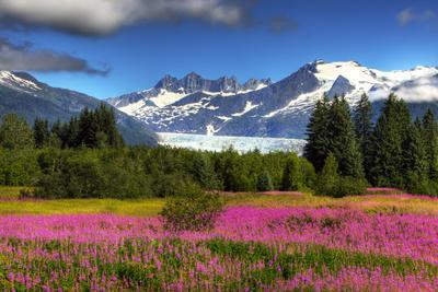 View of the Mendenhall Glacier with a Field of Fireweed in the Foreground, Southeast, Alaska Summer