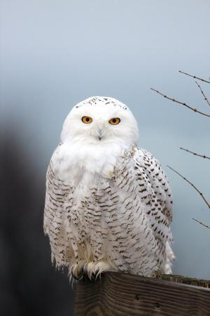 A Snowy Owl, Bubo Scandiacus, Perches on a Fence and Scans the Winter Landscape