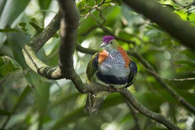 A Superb Fruit-Dove, Ptilinopus Superbus, at the Taronga Zoo