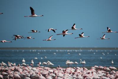 Greater Flamingos in Flight Near Walvis Bay, Namibia