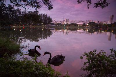 A Pink Sunset with Two Black Swans in Ibirapuera Park Lake with Sao Paulo Cityscape Behind