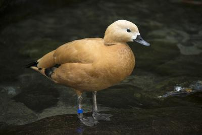 A Ruddy Shelduck, Tadorna Ferruginea, at the Taronga Zoo