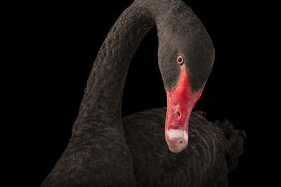 A Black Swan, Cygnus Atratus, at the Kansas City Zoo