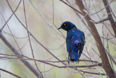 A Cape Glossy Starling, Lamprotornis Nitens, Rests on a Branch in Etosha National Park