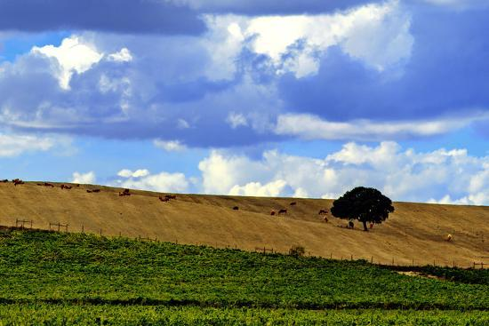 Landscape Of Vineyards And Hill Top Trees Under A Sky With Fluffy White Clouds