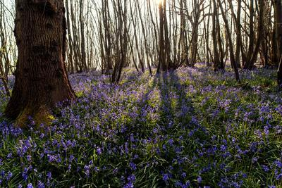 Bluebells Carpet the Ground in Guestling Wood, East Sussex, England
