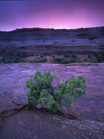 A Lone Juniper Grows Out of Sandstone in the Foreground of a Colorful Sunset