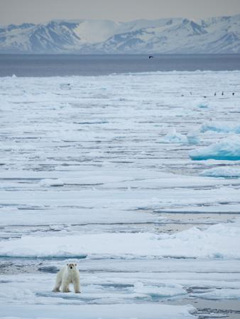 A Lone Polar Bear Traverses the Pack Ice on Hinlopen Strait