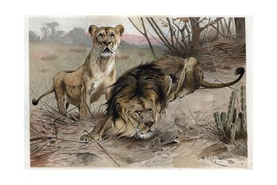 The Lion by Alfred Edmund Brehm