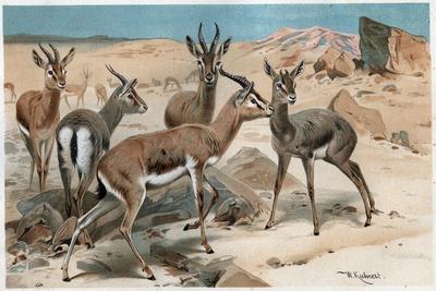 Gazelle by Alfred Edmund Brehm