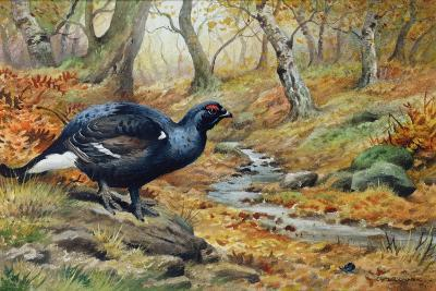 Black Cock Grouse by a Stream