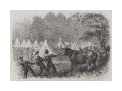 The War in America, Quartermaster's Department, Killing Bullocks in the Federal Camp, Virginia