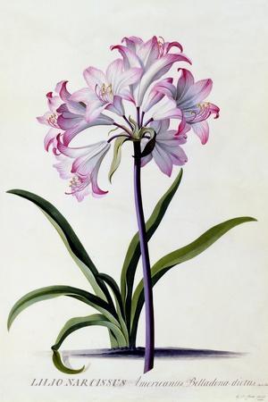 Lilio Narcissus, C.1744