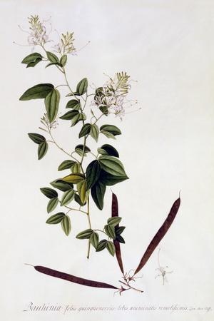Bauhinia, C.1745