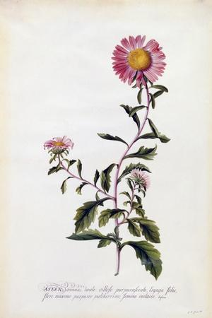 Aster, C.1743