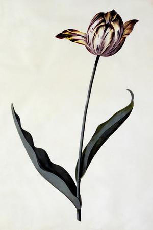 Tulip, C.1745