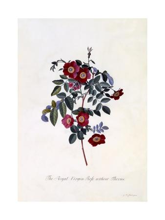 The Royal Virgin Rose Without Thorns, C.1745