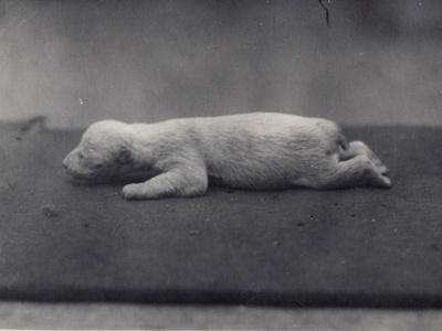 Polar Bear Cub with Eyes Not Yet Open, Lying on a Blanket at London Zoo, January 1920