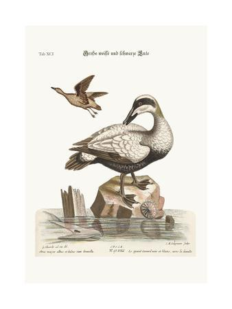 The Great Black and White Duck, 1749-73