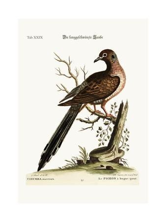 The Long-Tailed Dove, 1749-73