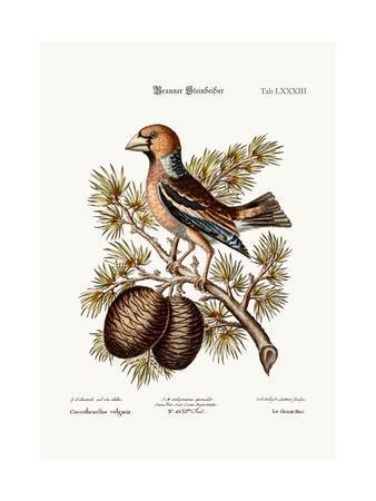 The Gros-Beak or Haw-Finch, 1749-73