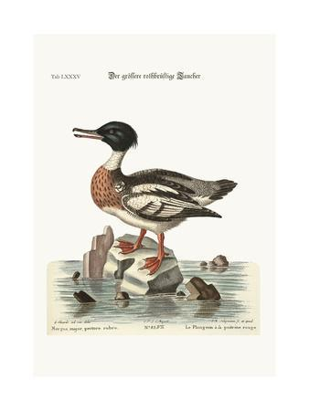 The Red-Breasted Goosander, 1749-73