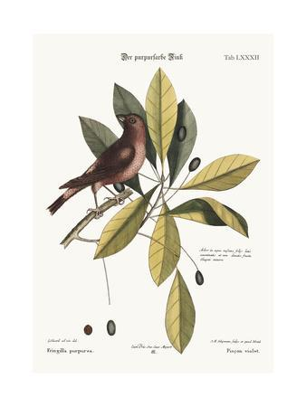 The Purple Finch, 1749-73