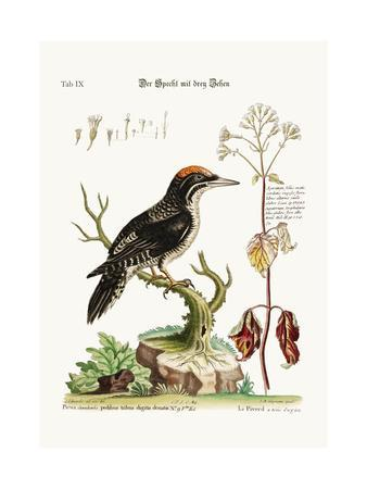 The Three-Toed Woodpecker, 1749-73