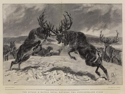 The Rivals, a Battle Royal Between Two Newfoundland Stags