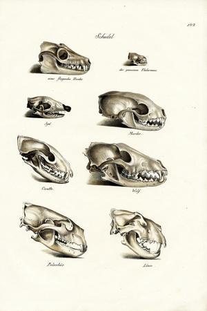Carnivores Skulls, 1824