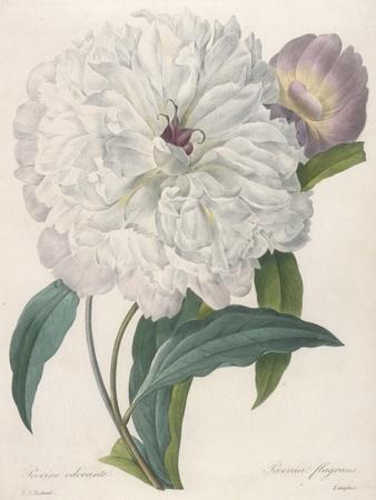 Paeonia Flagrans (Peony), 1827