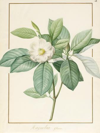 Magnolia Glauca, 1811