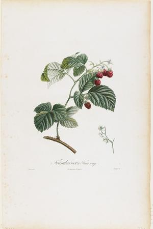 Framboisier a Fruit Rouge (Raspberries), from Traite Des Arbres Fruitiers, 1807-1835