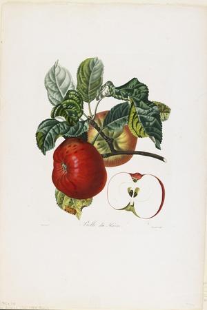 Belle De Havre (Apple), from Traite Des Arbres Fruitiers, 1807-1835