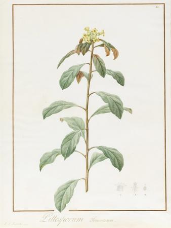 Paeonia Moutan Var. B. Paeonia Suffruticosa