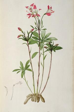 Alstraemeria Ligtu, from `Les Liliacees' by Pierre Redoute, 8 Volumes, Published 1805-16